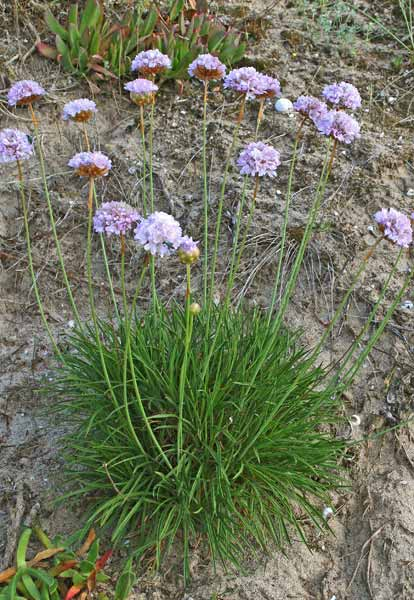 Armeria pungens, Spillone delle spiagge, Rosa marina