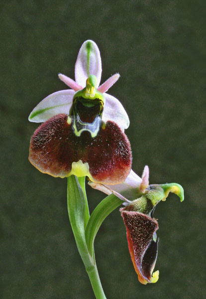 Ophrys chestermanii, Ofride di Chesterman, Mumuseddus