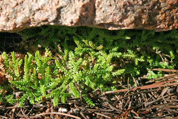 Selaginella denticulata, Selaginella denticolata